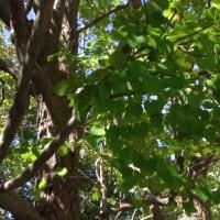 マンションのカツラの木:まとめ