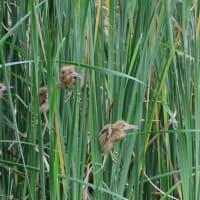 餌をねだる、ヨシゴイの幼鳥たち。