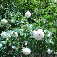 自宅の白薔薇、満開です。【調布市:自宅】 2021.5.6