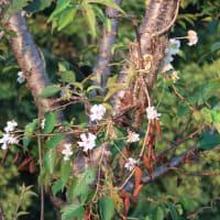 十月桜(花開く)