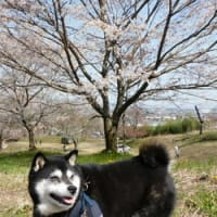 霞間ヶ渓の桜を見に 2