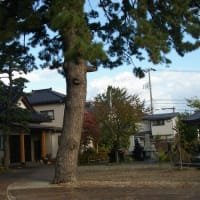 新潟県柏崎市、東本町「浄敬寺のケヤキ」です!!