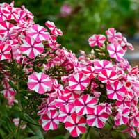 花色豊富な宿根フロックス