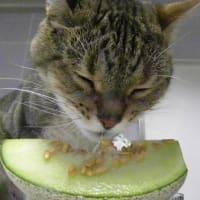猫にはやっぱりメロンは旨すぎるぜ!