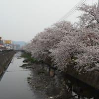 尾道・三原の満開の桜