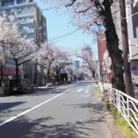 雷神、井の頭公園の桜を見る。
