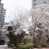 となりの桜