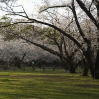 西都原古墳群の桜開花状況(2020.4.1現在)