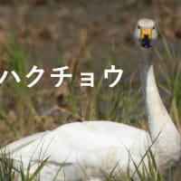 カモ第5陣-コハクチョウ