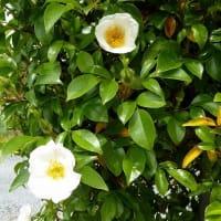 生垣のバラ ・ ナニワイバラ が咲き始めました。 カクテルも続いています。
