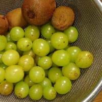 シャインマスカット初収穫。落果したキウイフルーツも収穫/インフルエンザ、予防を第一に コロナと同時流行に警戒を