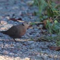伊豆大島の鳥類(伊豆大島の動物シリーズ4・ジオガイド養成講座より)