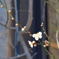 初春の令月、令和の日もまだ咲き誇るか午後の森の梅。