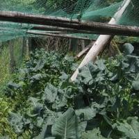 茎ブロッコリー収穫