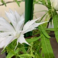 くらしの植物苑 伝統の朝顔 変化朝顔 1
