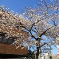 ようやく桜が満開になりました