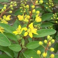 コウシュンカズラ・ミリオンキッスの花は