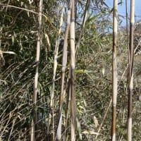 メダケの竹林