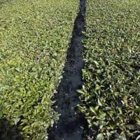 茶畑に米ぬか撒き。