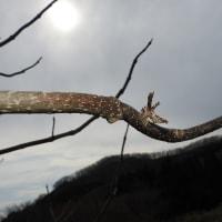 今年初の蛾はオカモトトゲエダシャク
