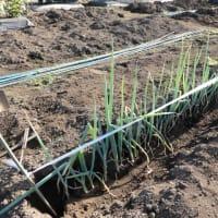 夏野菜収穫と長ネギの定植
