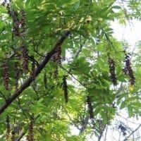 この木 何の木 気になる実 ~ シナサワグルミのようでした。