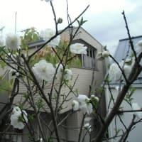 花祭り ベランダの白桃咲く