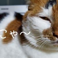 【91】れいにゃん堂のれいちゃん・砂交換&商品紹介😸