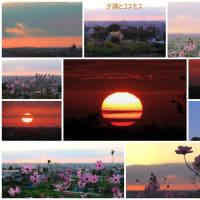 ●大乗寺丘陵公園から 夕焼けと畑のコスモス シモツケ マリーゴールド 赤トンボ