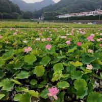 蓮の花苑 開花状況4