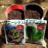 サニーレタスとサンチュの播種