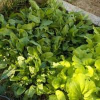 葉もの野菜、絶賛収穫中!
