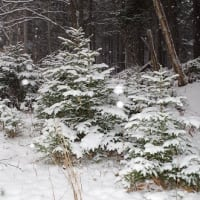 北欧へトリップ♪ Spruce forest