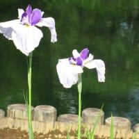 花菖蒲ー山紫水明