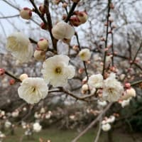 佐倉城址公園 河津桜は一分咲き