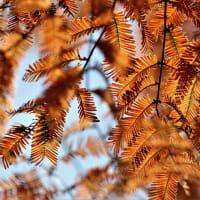 続・メタセコイアの紅葉