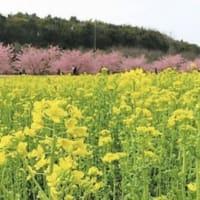 東大山の河津桜 浜松
