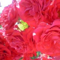 咲き薫る薔薇・・・ ~バラ便り~(8)