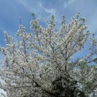 「桜」/蒲田界隈2020