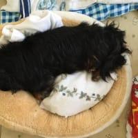 シバ犬のおしりベッドの宝もの