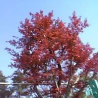 たまプラーザの紅葉