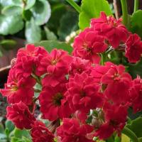 八重のカランコエが咲きました〜😊