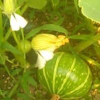 カボチャに蝶々