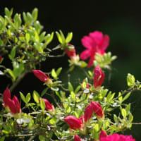 庭先の ツツジの花に 揺らぐ風