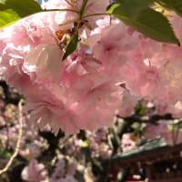 圧巻の塩竈桜。