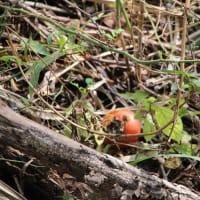 柿には 免疫力を高める効果まである^^ あんぽ柿は特に美味しいよ~♪