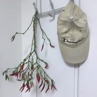 家庭菜園の秋植え第二弾