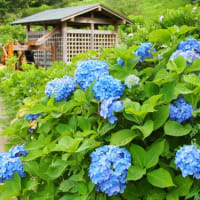 横須賀しょうぶ園 花しょうぶまつり2019