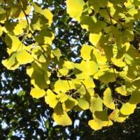 11月14日版 公園の黄葉・紅葉