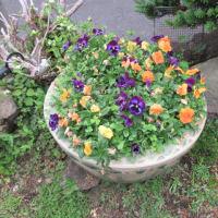 冬の花パンジーは長く咲いてくれました